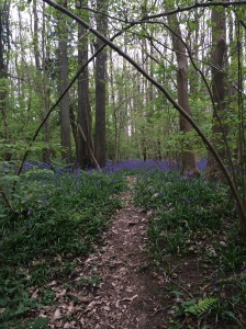 Beautiful bluebells close to home.