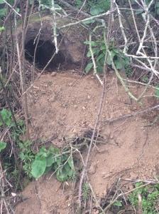 An active badger sett entrance