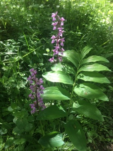 Solomon's seal and orchids