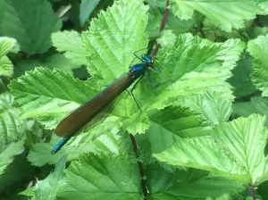 A damselfly resting near the water.