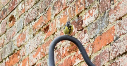 A scruffy blue tit