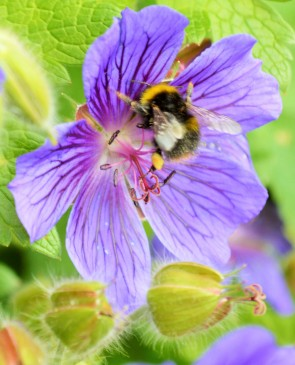 Bees foraging on borage