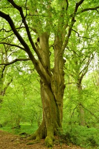 Fabulous beech tree