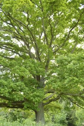 One of the awe inspiring veteran oaks