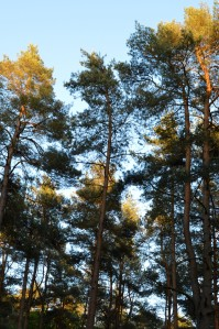 Pine plantation at Swinley Forest