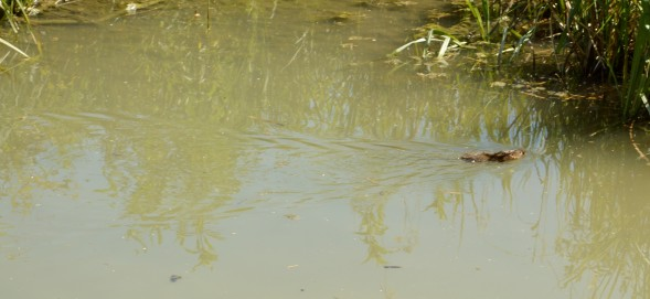 My first sighting of a water vole