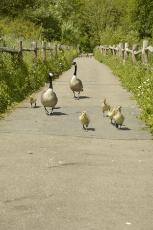 Canada geese strutting their stuff on the boardwalk