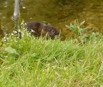 The cheeky water vole