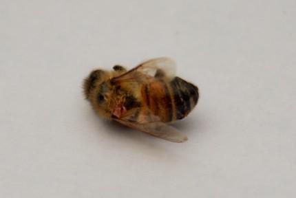 The honey bee we found dead in the garden.