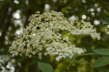 Elderflowers in bloom