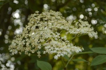 Elderflowers in bloom