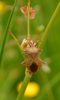 Shield bug on sorrel
