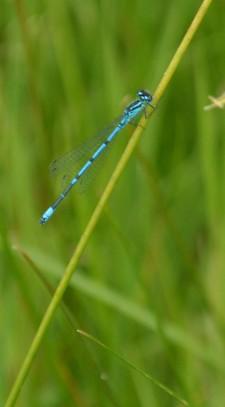 Common blue damselfy