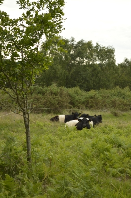 Belted galloway, helping with the conservation of Chobham Common