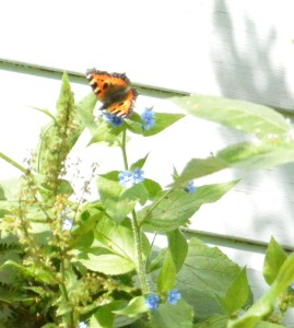 Small tortoiseshell visiting the garden