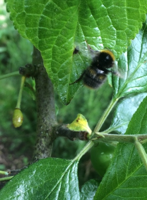 A bee on the Victoria Plum