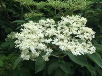 Elderflowers on my lunchtime walk
