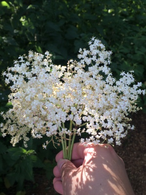 A bunch of elderflowers