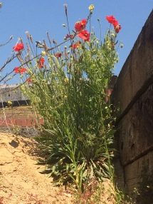 Poppies growing on a sand pile in the depot