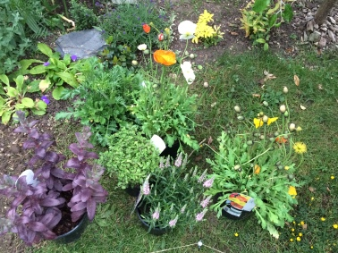 Adding pollinator friendly plants to the garden