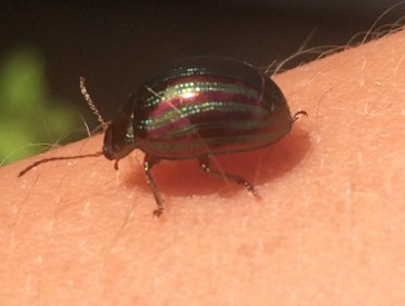 Beautiful Rosemary beetle