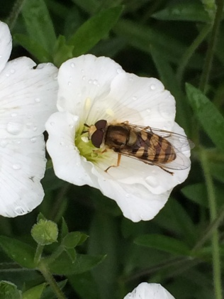 Hoverflies can be recorded too!