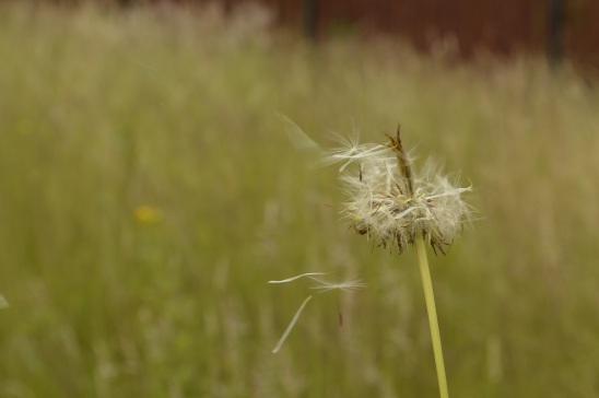 A moment in time dandelion clock small