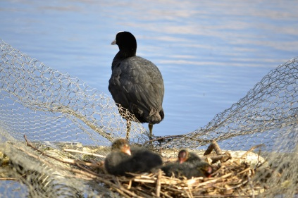 Coot guarding nest