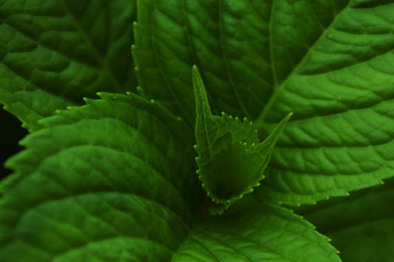 Green world hydrangea leaf