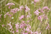 ragged robin small