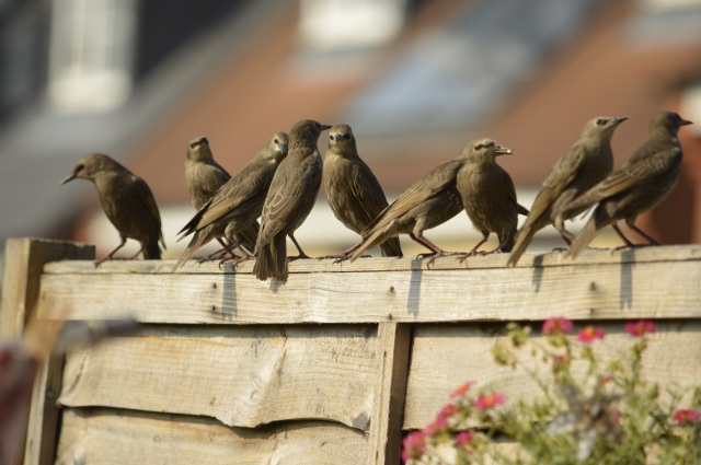 starlings on the fence