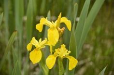yellow flag iris small